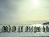 Emperor Penguins, Antarctica Premium-Fotodruck von Michael Rougier