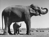 Butch, Baby Female Indian Elephant in the Dailey Circus, Standing Beneath Full Size Elephant Lámina fotográfica por Cornell Capa