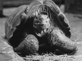 Close Up of Old Female Tortoise Lámina fotográfica de primera calidad por Nina Leen