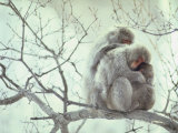 Family of Japanese Macaques Sitting in Tree in Shiga Mountains Fotodruck von Co Rentmeester