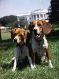 Him and Her, Pet Beagles of President Lyndon B. Johnson, Sitting Together on Lawn of White House Premium Photographic Print by Francis Miller