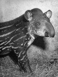 Baby Tapir Premium Photographic Print by Cornell Capa