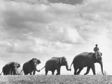 Circus Elephants Walking in Line Premium Photographic Print by Cornell Capa