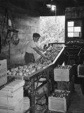 Boy Sorting Apples Lámina fotográfica de primera calidad por Nina Leen