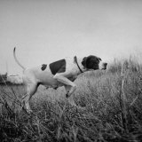Champion Dog Participating in the Continental Field Dog Trials Photographic Print by William C. Shrout