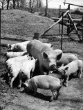 Championship Yorkshire Mother Pig with Babies Premium Photographic Print by Francis Miller