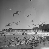 Large Group of Sea Gulls Flying Around and on the Beach Photographic Print by Eliot Elisofon