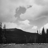 Sheep Grazing in Mountain Pasture Photographic Print by Cornell Capa
