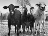 Crossbreeding of Brahmin Stock, Bragus and Braford Premium Photographic Print by Cornell Capa