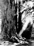 Giant Redwood Tree with Woman Sitting at Base of Trunk Reproduction photographique