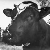Close Up of Bull Worth $25,000 Photographic Print by Wallace Kirkland