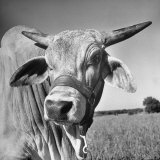 Osrigo Manso, National Champion Brahmin Bull Photographic Print by Cornell Capa