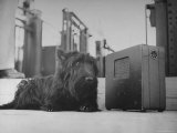 Franklin D. Roosevelt's Dog Fala, Listening to the President's Speech on the Radio Premium Photographic Print by George Skadding