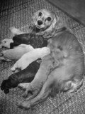 Cocker Spaniel Nursing Her Puppies Premium Photographic Print by Hansel Mieth