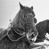 Frosted Horse Rests After Pulling a Sled Loaded Down with Firewood Photographic Print by George Silk