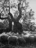 Flock of Sheep under an Olive Tree Premium Photographic Print by Alfred Eisenstaedt