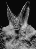 Lump Nosed Bat of Southeastern Us Premium Photographic Print by Andreas Feininger