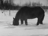 Foraging Horse Digs His Nose Deep Into the Snow to Crop a Few Blades of Grass Impresso fotogrfica premium por George Silk