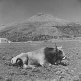 Bull in Field of Valley at Foot of Hilltop Town of Rignano Photographic Print by Alfred Eisenstaedt