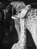 Baby Giraffe Taking a Look Around Premium Photographic Print by Al Fenn