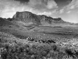 Distant of Cowboys Rounding Up Cattle with Mountains in the Background Big Bend National Park Premium Photographic Print by Alfred Eisenstaedt