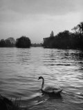 Beautiful Swan Swimming Down the Thames River After John Gordon Wordsworth Passed Away Premium Photographic Print by Nat Farbman