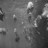 School of Spadefish in Parade Formation Photographic Print by Fritz Goro