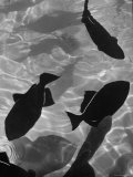 Close Up of a Group of West Indian Batfish Premium Photographic Print by Fritz Goro