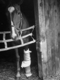Horse Wearing Bandage Due to Bowed Tendon Photographic Print by Hank Walker