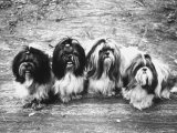 Expensive Little Chinese Dogs Shih Tzus Once Owned Only by Royalty Premium Photographic Print by Yale Joel