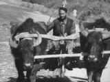 Farm Cart, Drawn by Oxen, Driven by a Farmer Premium Photographic Print by Stan Wayman