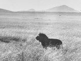 Male Lion in High Grass Region of Africa Premium Photographic Print by John Dominis