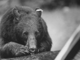 Bear in the Great Smokey Mountain National Park Premium Photographic Print by Michael Mauney