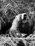 Woodchuck Standing on Hind Legs in Midst of Dense Foliage with Mouth Open and Showing Teeth Premium Photographic Print by Andreas Feininger