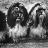 Expensive Little Chinese Dogs Shih Tzus Once Owned Only by Royalty Photographic Print by Yale Joel