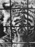 Caged White Tiger Premium Photographic Print by Larry Burrows
