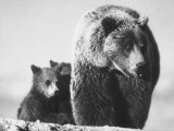 Bear and Cubs Impresso fotogrfica premium por George Silk