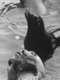 Seals Living in the Rome Zoo Premium Photographic Print by David Lees