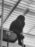 Baby Gorilla Waiting For His Mate to Join Him on the Ladder in Milwaukee Zoo Premium Photographic Print by Stan Wayman