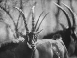 Giant Sable Antelopes Roaming the Luanda Game Preserve Lmina fotogrfica de primera calidad por Carlo Bavagnoli