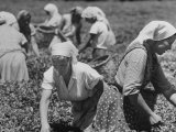 Girls Picking Tea Leaves on State Farm Premium Photographic Print by Stan Wayman