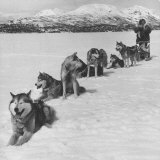 Dog Sledding Team Reproduction photographique par Nat Farbman