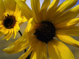 Sunflowers Growing on Great Salt Lake Desert Premium Photographic Print by Bill Eppridge