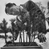 Japanese Horticulturist Kan Yashiroda Tending to a Bonsai Tree Photographic Print by Gordon Parks