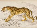 Engraving of a Hunting Leopard from The Naturalist's Library Mammalia Premium Photographic Print