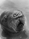 Baby Walrus in Bering Sea Premium Photographic Print by Stan Wayman