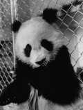 Giant Panda from Red China Chewing on Leaves Premium Photographic Print by Michael Rougier