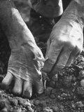 Farmer's Strong, Work Toughened Hands Planting in the Garden, Photographic Print