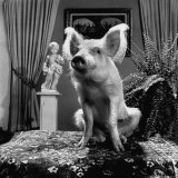 "Piglet Sitting on Table Showing That ""Pigs Can Be Beautiful"" Photographic Print by Vernon Merritt III"