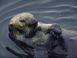 Sea Otter Lying on Back in Oil Polluted Water Holding Clam on His Stomach Premium Photographic Print by Stan Wayman